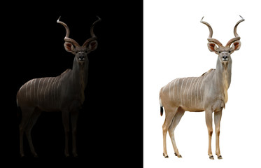 Wall Mural - greater kudu in the dark and white background