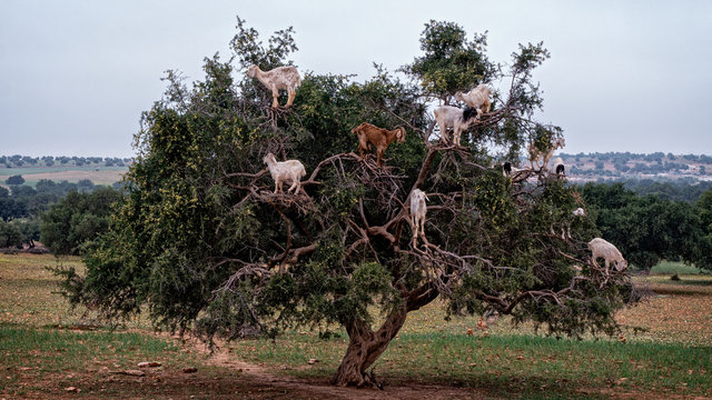 Goats in argan tree, Essaouira, Morocco