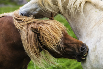 Close up of Icelandic horses grooming