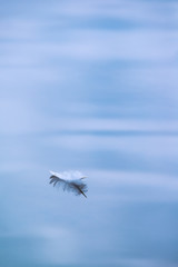 Single white feather floating in water