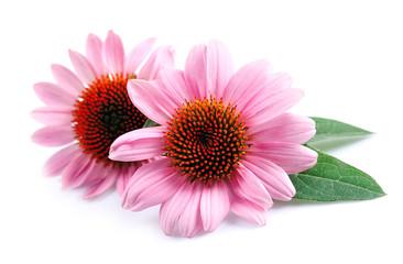 Echinacea flowers close up