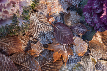 Leaves in the frost and ornamental cabbage