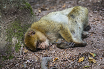 capuchin monkey sleeping in the forest