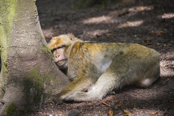 Lying macaque monkey on a branch in the wild sleeping in a forest