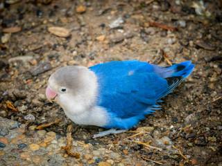 Lovebird (Agapornis roseicollis blue morph)