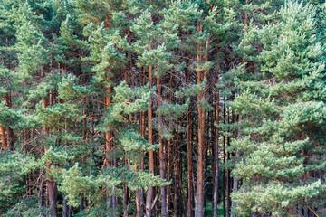 Bosque de Pino Silvestre. Pinus sylvestris. Robledo de Sanabria, Zamora.