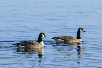 Two Canada Geese swimming in tandem in blue water