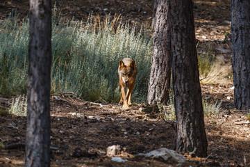 Canis lupus signatus. Lobo Ibérico entre los pinos.