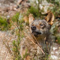 Canis lupus signatus. Lobo Ibérico olfateando.