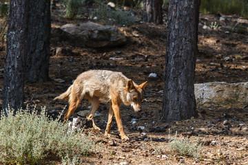 Canis lupus signatus. Lobo Ibérico en el bosque.