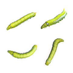 Image of Green Caterpillar on white background.