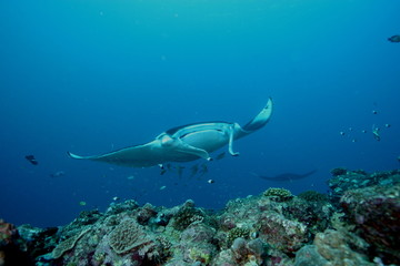Manta Ray underwater diving photo Maldives Indian Ocean