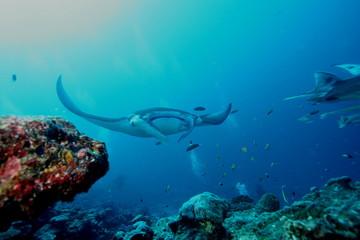 Manta Ray underwater diving photo Maldives Indian Ocean