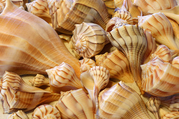 Close up view of Lightning Whelk shells sitting on sand
