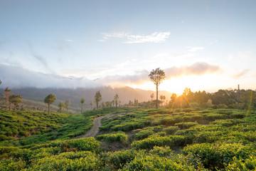 Teeplantage bei Sonnenaufgang