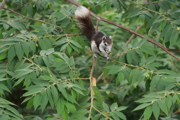 Animals in wildlife, squirrel eating and finding fruits on the tree