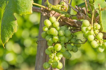 vigne et grappe de raisins