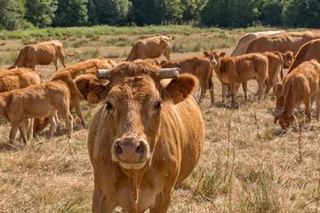 vache et veaux en pâture à la campagne