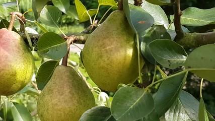 Fototapete - Birnen am Baum bewegen sich im Wind