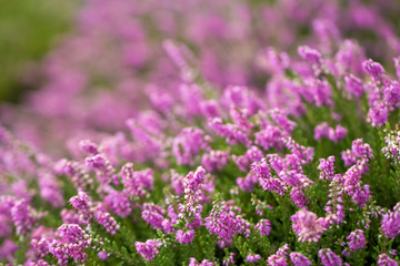 heather blossoms close up blurred background