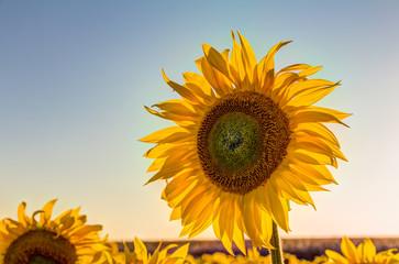 Sonnenblumenfeld im Sommer am frühen Abend