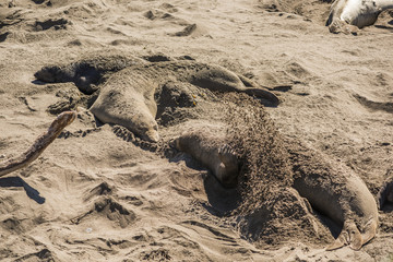 Elephant seals flipping or throwing sand on themselves on shore during hot weather