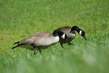 two geese heads down