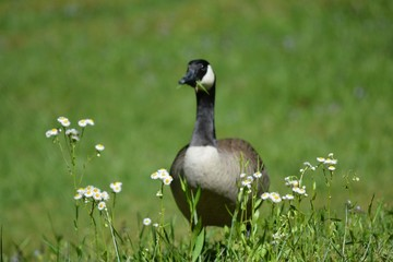 goose in flowers looking ahead