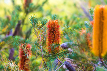 Banksia Flower at Royal Botanic Gardens Melbourne