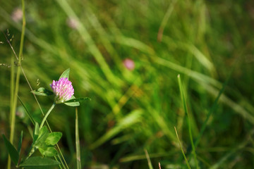 Pink clover flower on blurred grass background