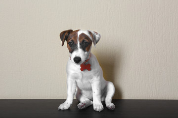 Cute small dog Jack Russell terrier on light background
