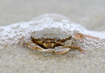 Funny crab sitting on the sand in the sea foam. Big crab on sea sand natural background/Funny crab sitting on the sand in the sea foam. Big crab on sea sand natural background