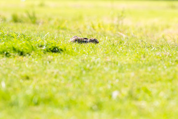 Alert hare lying down in grass with ears flat