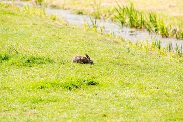 Hare eating the grass of meadow during summer