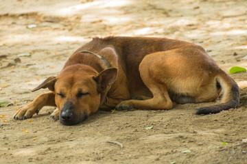 Thailand Dog Sleeping.