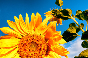 Sunflower in full bloom on blue sky