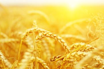Wheat field on sun