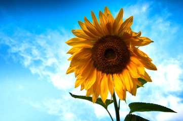 Sunflower in full bloom on blue sky