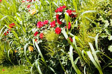 ornamental shrub with roses