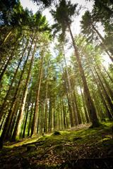 Forêt de sapin dans le Parc Régional du Morvan - forêt du Haut Folin