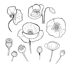 Poppy doodle seed heads and flower ink illustration