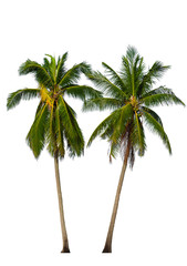 Two Coconut palm trees isolated on white background. Included clipping path