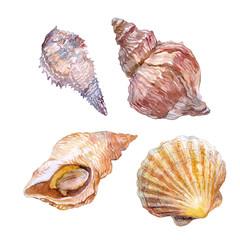 edible sea mollusk