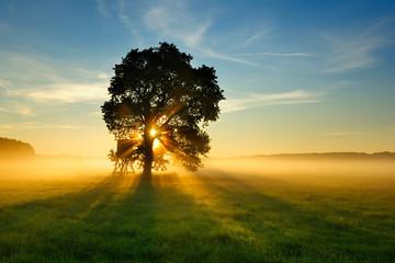 Oak Tree in Meadow at Sunrise, Sunbeams breaking through Morning Fog