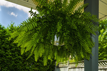 Hanging Boston Fern on a porch on a summer day