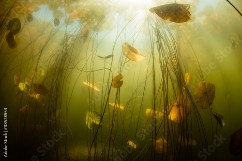 Wall mural Aquatic Plants in Freshwater Pond