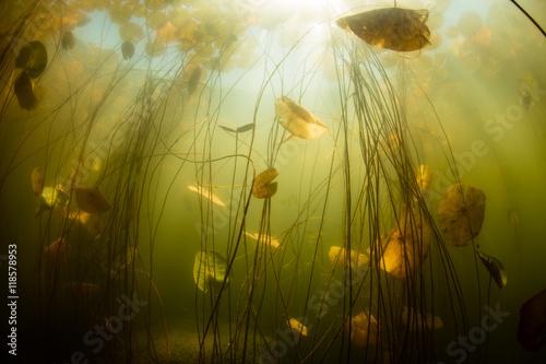 Fototapete Aquatic Plants in Freshwater Pond
