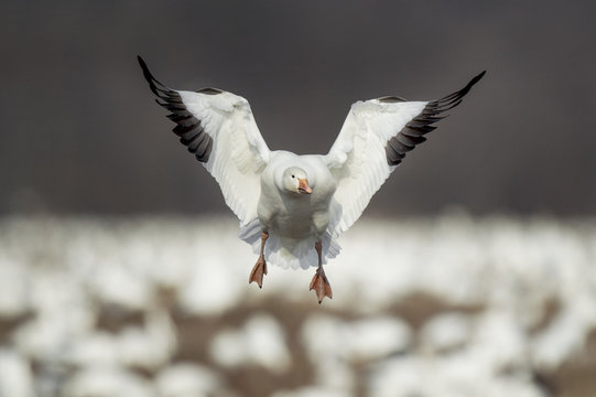 A Snow Goose flies in to land in a field filled with snow geese on an overcast winter day.