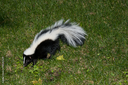 "Skunk In Backyard skunk in backyard"" stock photo and royalty-free images on fotolia"