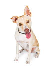 Attentive Crossbreed Yellow Dog on White